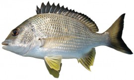 30 bream on fly Collection